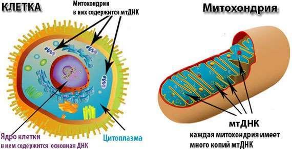 Энергетика митохондриального окисления