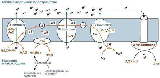 Фосфорилирующая дыхательная цепь