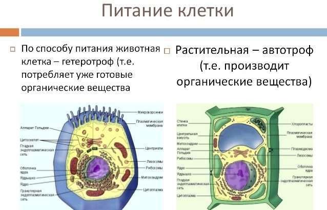 Питание клетки