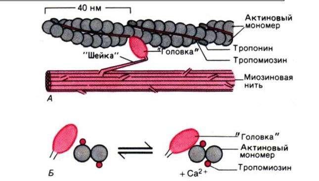 aktin-miozinovaya-sistema