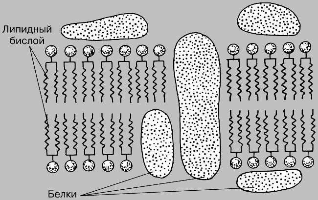 poverhnost-kletki-znakomstvo-s-membranami-i-lipidami