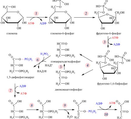 tsitozol-glikoliz-perenos-elektronov-i-vosstanovlenie-anaerobnoj-energii